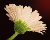 Gerber rosa Fotografia Stock