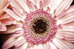 Gerber rosa intelligente Daisy Macro Photograph Fotografia Stock