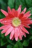 Gerber rosado 3 Foto de archivo