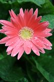 Gerber rosado 5 Fotos de archivo libres de regalías