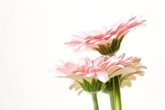Gerber rosado Fotografía de archivo libre de regalías