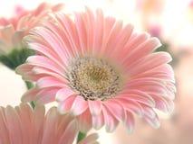 Gerber rosado foto de archivo