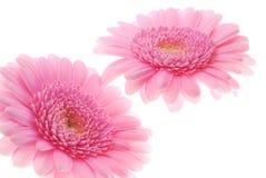 Gerber rosado fotografía de archivo