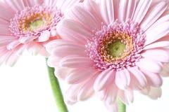 Gerber rosado Fotos de archivo libres de regalías