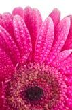 Gerber rose Images libres de droits