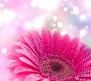 Gerber rose Photo libre de droits