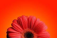 Gerber rosso Fotografia Stock