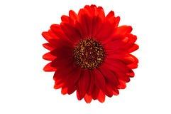 Gerber rosso isolato. Fotografia Stock