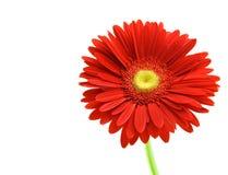 Gerber rosso isolato su priorità bassa bianca Fotografia Stock