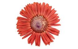 Gerber rosso su fondo bianco Immagine Stock