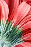 Gerber rouge Photo libre de droits