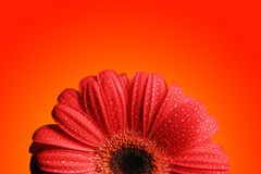 Gerber rouge photo stock