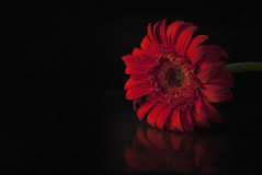 Gerber rouge au-dessus de noir Photographie stock