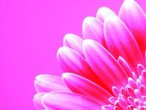 Gerber in roze royalty-vrije stock afbeelding