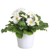 Gerber's flowers in a flowerpot. Isolated on a white background stock images