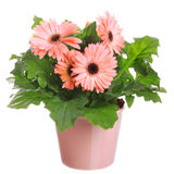 Gerber's  flowers in a flowerpot Royalty Free Stock Photography
