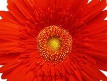 Gerber's heart. Red gerber close-up Stock Image