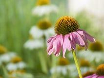 Gerber solitaire Daisy Wilting pendant l'été Sun Photo libre de droits