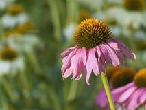 Gerber solitaire Daisy Wilting pendant l'été Sun Photo stock