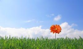 Gerber sur le fond d'herbe et de ciel Image libre de droits