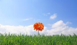 Gerber sur le fond d'herbe et de ciel Photo stock