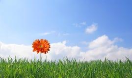 Gerber sur le fond d'herbe verte et de ciel bleu Image libre de droits