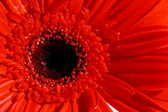Gerber Up Close. Macro of a blood red gerber daisy, vaiety Timo. Something different for Valentine's Day from the traditional red roses royalty free stock photos