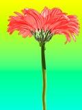 Gerber. Vector illustration. Beautiful flower design Stock Images
