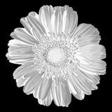 Gerber. Vector illustration. Beautiful flower design Stock Photography
