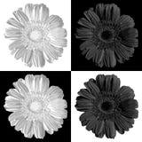 Gerber. Vector illustration. Beautiful flower design Stock Photo