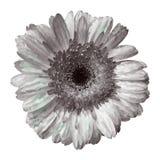 Gerber. Vector illustration. Beautiful flower design Royalty Free Stock Photo