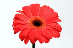 Gerber vermelho Imagem de Stock