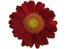 Gerber vermelho Imagem de Stock Royalty Free