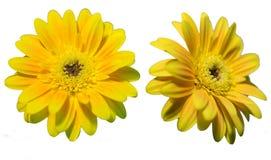 Gerbera - żółty kwiat Obrazy Royalty Free