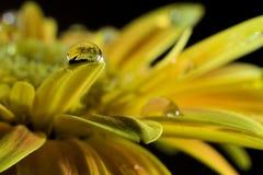 Gerbera - żółty kwiat Zdjęcia Stock