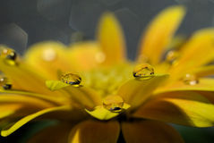 Gerbera - żółty kwiat Fotografia Royalty Free