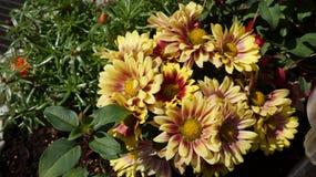 Gerbera żółty kwiat zdjęcie stock