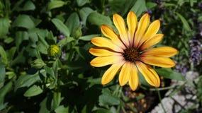 Gerbera żółty kwiat zdjęcia royalty free