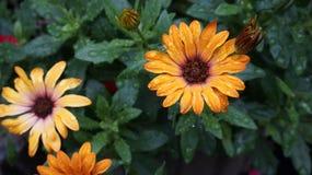 Gerbera żółty kwiat obraz stock