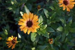 Gerbera żółty kwiat fotografia stock