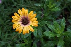 Gerbera żółty kwiat obrazy royalty free