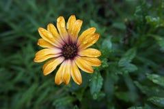 Gerbera żółty kwiat zdjęcia stock