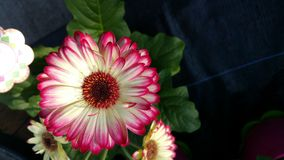 gerbera εστίασης λουλουδιών μαργαριτών πρώτο Στοκ εικόνα με δικαίωμα ελεύθερης χρήσης