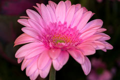 gerbera εστίασης λουλουδιών μαργαριτών πρώτο Στοκ φωτογραφία με δικαίωμα ελεύθερης χρήσης