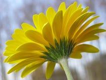 gerbera κίτρινο Στοκ Εικόνες