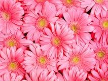 gerbera λουλουδιών ανασκόπησ& Στοκ Εικόνες