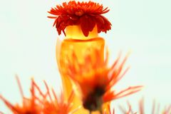 gerbera λουλουδιών κορωνών Στοκ Φωτογραφίες
