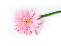 gerbera λουλουδιών Στοκ Εικόνες