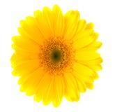 gerbera λουλουδιών Στοκ εικόνα με δικαίωμα ελεύθερης χρήσης