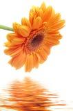 gerbera λουλουδιών Στοκ Φωτογραφίες